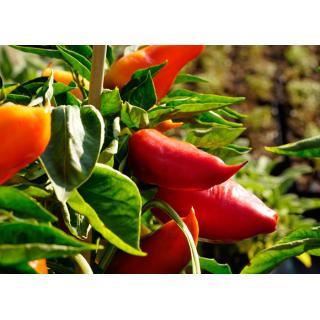 Paprikapflanze Pusztagold