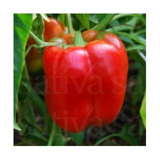 Paprikapflanze Jumbo, rot-blockig