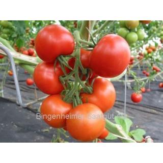 Tomatenpflanze Tica