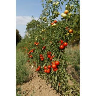 Tomatenpflanze Moneymaker F
