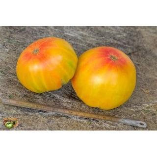 Fleischtomatenpflanze Ochsenherz orange