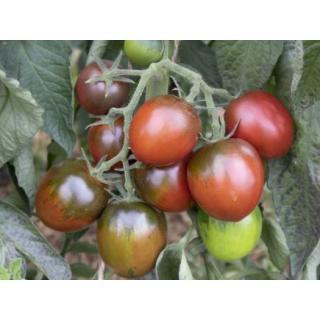 Tomatenpflanze Paul Robson
