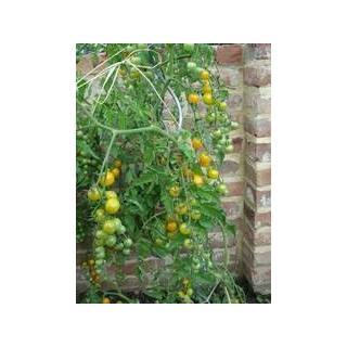 Wildtomatenpflanze Bolivianische Obst