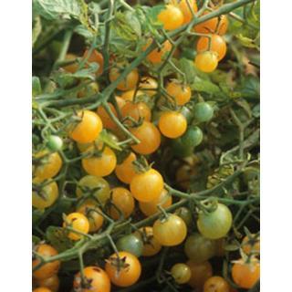 Balkon-Tomatenpflanze Fuzzy Wuzzy