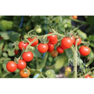 Balkontomatenpflanze Johannisbeertomate rot F