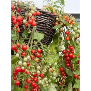 Balkon-Tomatenpflanze Tumbling Tom