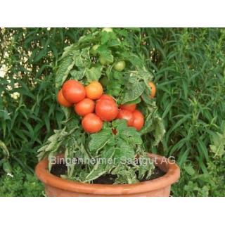 Balkontomatenpflanze Rotkäppchen F