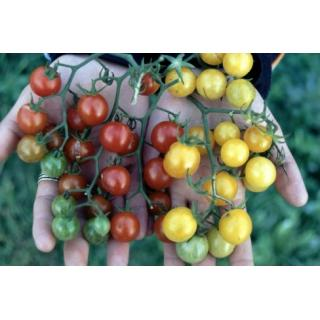 Wildtomatenpflanze Rote Murmel