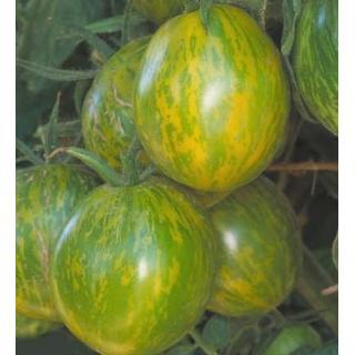 Tomatenpflanze Green Zebra
