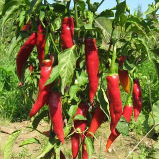 Gurkenpflanze Corinto (Landgurke) F