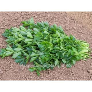 Jungpflanze Petersilie, glatt F