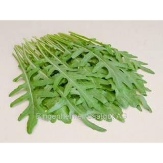Jungpflanze Rucola F